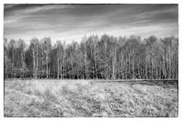 Ashdown Forest Trees in a Row