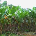 """Banana Field"" by lanjee"