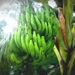 """""""Banana"""" by lanjee"""