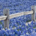 """Texas Bluebonnets and an Olden Wooden Fence"" by RobGreebonPhotography"