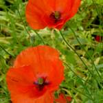 """A Pair of Poppies"" by silverwood"