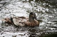 Duck in shimmering water