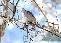 Eurasian Collard Dove