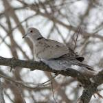 """Eurasian Collard Dove"" by cameragal"