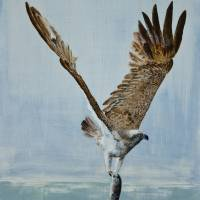 Osprey Fishing Art Prints & Posters by Alan Pickersgill
