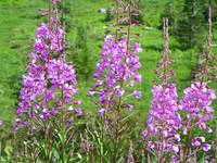 Alpine Fireweed - Mount Rainier National Park
