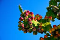 The Cactus Figues
