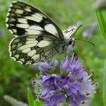 """""""Marbled Butterfly"""" by ljpixie75"""