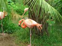 Why do Flamingos balance on one leg?