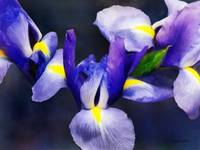 Group of Japanese Irises