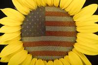 American Sunflower