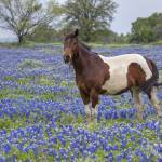 """Horse in Texas Bluebonnets"" by RobGreebonPhotography"