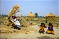 Threshing rice, rural Bihar, India