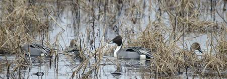 Northern Pintail Ducks