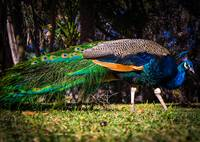 Peacock at Mayfield Park