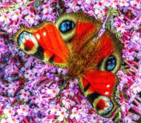 The Peacock Butterfly 1