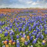 """Bluebonnet Field near Whitehall, Texas"" by RobGreebonPhotography"