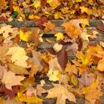 """""""Fallen Leaves"""" by TanyaMcConnell"""