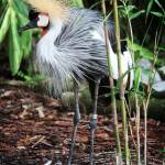 """African Crested Crane"" by jewlzchu"