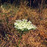 Queen Anne's Lace on the Beach