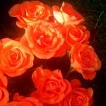 """Roses"" by paulihyvonen"