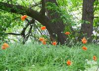 Orange Poppies on the edge of the Forest