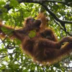 """""""Orangutan01"""" by AnneHarai"""
