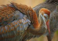 Evolving Sandhill Crane Beauty