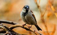 Mr Male House Sparrow