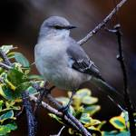 """Northern Mockingbird"" by ROBERTSCOTTPHOTOGRAPHYY"