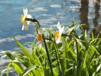 Daffodils by the Lake