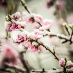 """peach blossom in snow"" by digidreamgrafix"