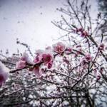 """peach blossom in snow"" by digidreamgrafix"