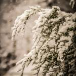 """evergreen branches in snow"" by digidreamgrafix"