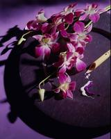 Purple plate orchids