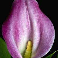 pink calla lily by julie scholz
