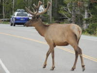 Elk on the road