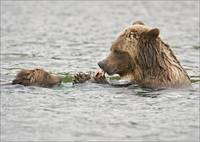 Grizzly Bear & Cub Feeding