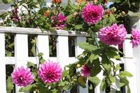 Dahlias over the Fence