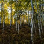 """Mystic Aspen Forest"" by JosephPlotz"