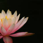 """Pink Water Lily"" by swaby"