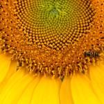 """""""Sunflower #11"""" by Skinner"""