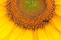 Sunflower #11