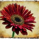 """BABERTON DAISY"" by southafricaphotos"