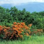 """Smoky Mountains - Flame Azaleas on Gregory Bald"" by timseaver"