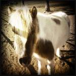 """Miniature Horse"" by Aesthete"