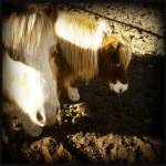 """Miniature Horses"" by Aesthete"