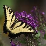 """Monarch"" by LMixedup"