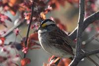 White-throated Sparrow xxx --9092