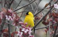 Goldfinch xxx --9067